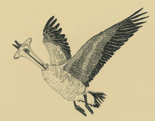 Horn Necked Goose, Surreal Drawing by Jenny Armitage